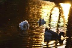 Zwemmende eenden Royalty-vrije Stock Foto's