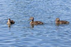 Zwemmende eendjes Stock Foto