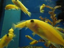 Zwemmende gele vissen royalty-vrije stock afbeelding