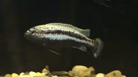 Zwemmende gestreepte vissen stock footage