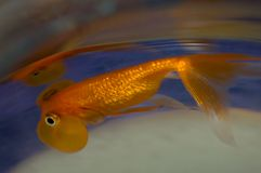 Zwemmende Goudvis Stock Foto