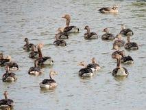 """Zwemmende greylag ganzen †""""crèche met jongen en volwassen vogels Royalty-vrije Stock Foto's"""