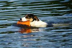 Zwemmende hond stock fotografie