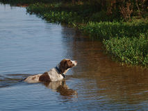 Zwemmende Hond Stock Foto