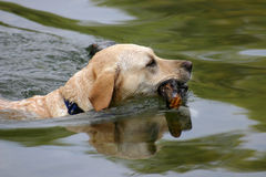 Zwemmende Hond royalty-vrije stock foto