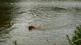 Zwemmende hond die houten tak terugwinnen Het jonge Golden retrieverhond zwemmen stock footage