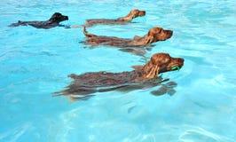Zwemmende honden Stock Foto's