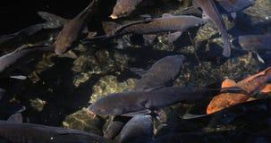 Zwemmende karper in de vijver stock videobeelden