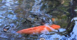 Zwemmende karper in de vijver stock footage