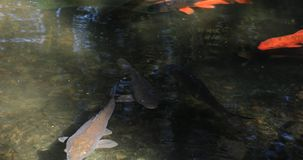 Zwemmende karper in de vijver stock video