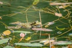 Zwemmende kikker in een zoet watervijver Royalty-vrije Stock Afbeeldingen