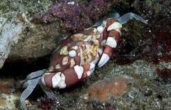 Zwemmende krab Stock Afbeelding