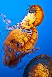 Zwemmende kwallen Stock Foto
