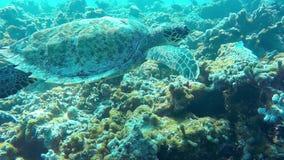 Zwemmende leuke schildpad in de blauwe oceaan Onderwatervrij duiken met zeeschildpad stock videobeelden