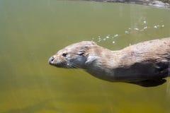 Zwemmende otter (Lutra-lutra) Stock Foto's