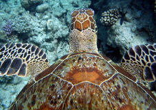 Zwemmende Overzeese Schildpad   Royalty-vrije Stock Foto