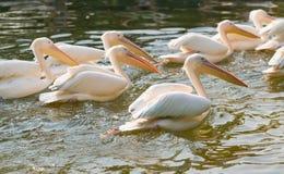 Zwemmende pelikaan Royalty-vrije Stock Foto