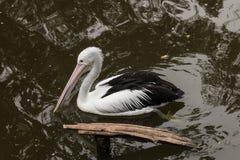 Zwemmende pelikaan Stock Foto