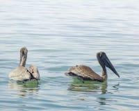 Zwemmende pelikanen Stock Afbeeldingen