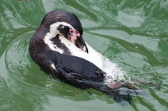 Zwemmende Pinguïn Stock Foto's