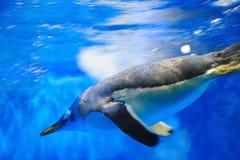 Zwemmende pinguïn Stock Afbeelding