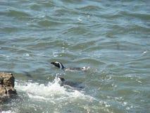 Zwemmende Pinguïn Royalty-vrije Stock Fotografie