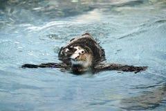 Zwemmende Pinguïn stock afbeeldingen