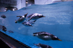 Zwemmende pinguïn onderwater stock foto's