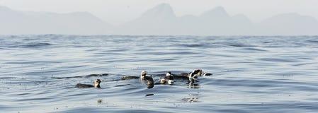 Zwemmende pinguïnen Stock Fotografie