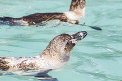 Zwemmende pinguïnen Stock Afbeeldingen