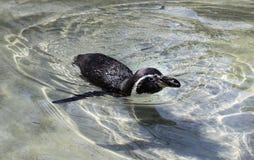Zwemmende pingu?n in de dierentuin royalty-vrije stock afbeeldingen