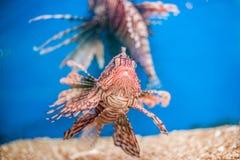 Zwemmende rode lionfish Pteroismijlen gevaarlijke, buitengewone, giftige oceaanvissen Achtergrond voor een uitnodigingskaart of e Stock Foto's