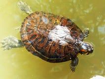 Zwemmende Schildpad stock foto's