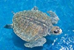 Zwemmende schildpad Stock Foto
