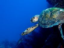 Zwemmende Schildpad Stock Fotografie