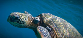 Zwemmende schildpad royalty-vrije stock fotografie