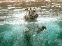 Zwemmende Tijger Stock Afbeelding