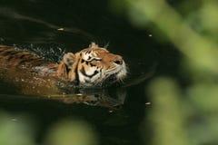 Zwemmende Tijger Royalty-vrije Stock Afbeelding
