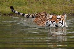 Zwemmende Tijger Royalty-vrije Stock Afbeeldingen