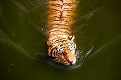 Zwemmende Tijger Stock Afbeeldingen