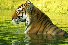 Zwemmende tijger Royalty-vrije Stock Foto's