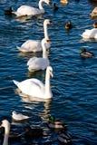 Zwemmende vogels in Stockholm stock afbeeldingen