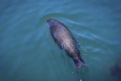 Zwemmende zeeleeuw Royalty-vrije Stock Foto's