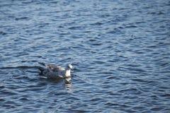 Zwemmende zeemeeuw Royalty-vrije Stock Afbeeldingen