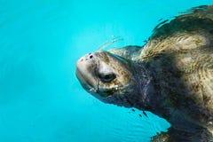 Zwemmende Zeeschildpad stock afbeeldingen