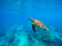 Zwemmende zeeschildpad in blauw water Overzeese schildpad snorkelende foto Leuke groene schildpadclose-up Royalty-vrije Stock Afbeeldingen