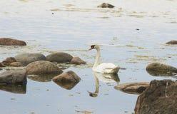 Zwemmende zwaan op de kust Stock Afbeeldingen
