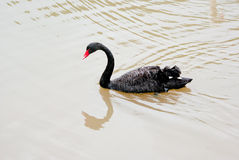 Zwemmende zwarte zwaan stock afbeelding