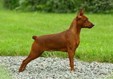 Zwerg Pinscher Royalty Free Stock Photos