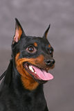 Zwerg pinscher. Smiling Zwerg pinscher dog on a gray background Stock Photo